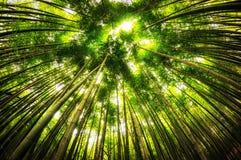 Bambusowy las w gochang obraz royalty free