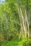 Bambusowy las, zielony bambusowy gaj w ranku świetle słonecznym, Sulawesi, Indonezja Zdjęcie Stock