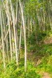 Bambusowy las, zielony bambusowy gaj w ranku świetle słonecznym, Sulawesi, Indonezja Obraz Royalty Free