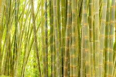 Bambusowy las, zielony bambusowy gaj w ranku świetle słonecznym, Sulawesi, Indonezja Fotografia Royalty Free