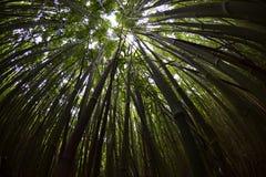 Bambusowy Lasowy baldachim, Fisheye Obraz Royalty Free