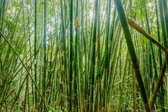 Bambusowy lasowy dżungli tło w Tajlandia Obrazy Royalty Free