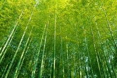 Bambusowy lasowy wysokich drzew Porcelanowy przyglądający up w baldachim Obraz Stock