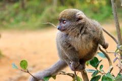 Bambusowy lemur Zdjęcie Stock