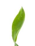 Bambusowy liść Zdjęcia Stock