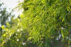 Bambusowy liść Zdjęcie Royalty Free