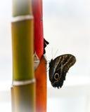 bambusowy motyl Fotografia Royalty Free