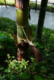 Bambusowy sheath zdjęcia royalty free