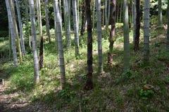 Bambusowy sheath zdjęcie stock