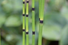 Bambusowy staw Fotografia Royalty Free