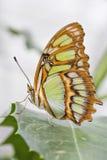 Bambusowy strony lub Dido Longwing motyl fotografia stock