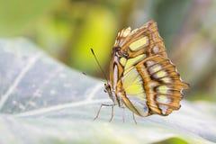 Bambusowy strony lub Dido Longwing motyl zdjęcie stock