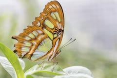 Bambusowy strony lub Dido Longwing motyl fotografia royalty free