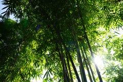 Bambusowy sylwetka wzór i podcieniowanie, światło słoneczne od bambusowego liścia ziemia obrazy royalty free