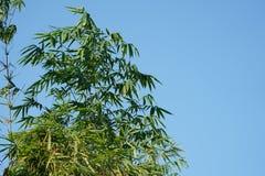 Bambusowy sylwetka wzór i podcieniowanie, światło słoneczne od bambusowego liścia ziemia zdjęcie royalty free