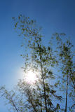 Bambusowy tło z niebieskim niebem i słońcem Fotografia Stock