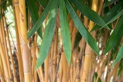 Bambusowy urlop, Bambusowy drzewo Fotografia Stock