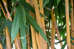 Bambusowy urlop, Bambusowy drzewo Obraz Royalty Free