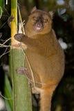 bambusowy wielki lemur Zdjęcia Royalty Free