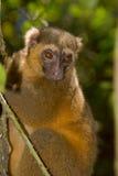bambusowy złoty lemur fotografia royalty free
