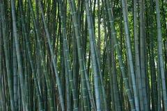 Bambusowych gąszczy podzwrotnikowy krajobraz zdjęcie stock