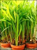 Bambuspflänzchen Makrohintergrund und Tapeten in den Spitzendrucken der hohen Qualität stockbilder
