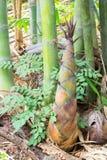 Bambusschoß Stockfotografie