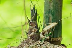 Bambusschoß Stockfotos