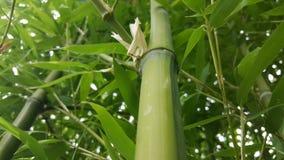 Bambusschoß Stockfoto