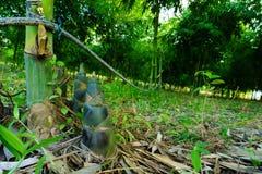 Bambusschoß, Bambusschosse während des Regens würzen stockfotografie