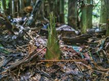Bambusschosse Stockfoto