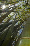 Bambusse. Stockfoto