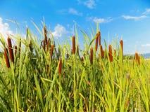 bambusse Stockfoto