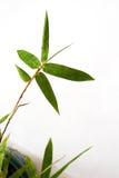 Bambussprig und Regentropfen Stockfotos