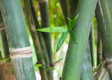 Bambusstiel und Laub Stockfotografie
