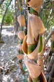 Bambustjälk Royaltyfria Bilder