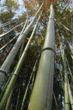 Bambustjälk Arkivbilder