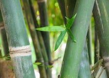 Bambustjälk och lövverk Arkivbild