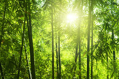 Bambuswald Stockbild