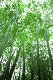 Bambuswald stockbilder