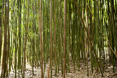 Bambuswald Lizenzfreies Stockbild