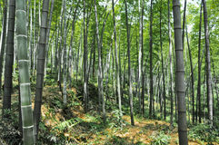 Bambuswald Lizenzfreies Stockfoto
