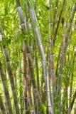 Bambuswald im Dschungel Stockbilder