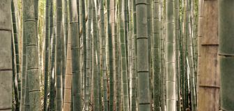 Bambuswald in Kyoto Japan stockfoto