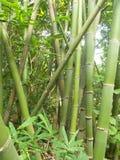 Bambuswald und grüne Bambusbäume lizenzfreie stockfotos