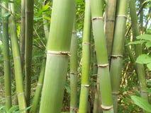 Bambuswald und grüne Bambusbäume stockfotos