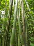 Bambuswald und grüne Bambusbäume schauen oben lizenzfreies stockfoto