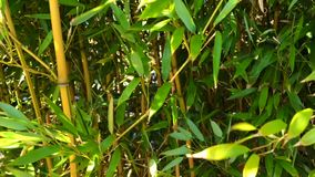 Bambuswaldnahaufnahme mit Wind stock footage