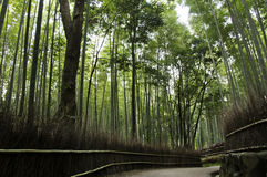 Bambuswaldung in Arashiyama in Kyoto, Japan Lizenzfreies Stockbild