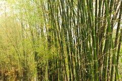 bambusy Fotografia Stock
